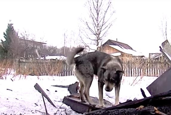 Ярославский хатико: пес на пепелище ждет погибшего хозяина – видео