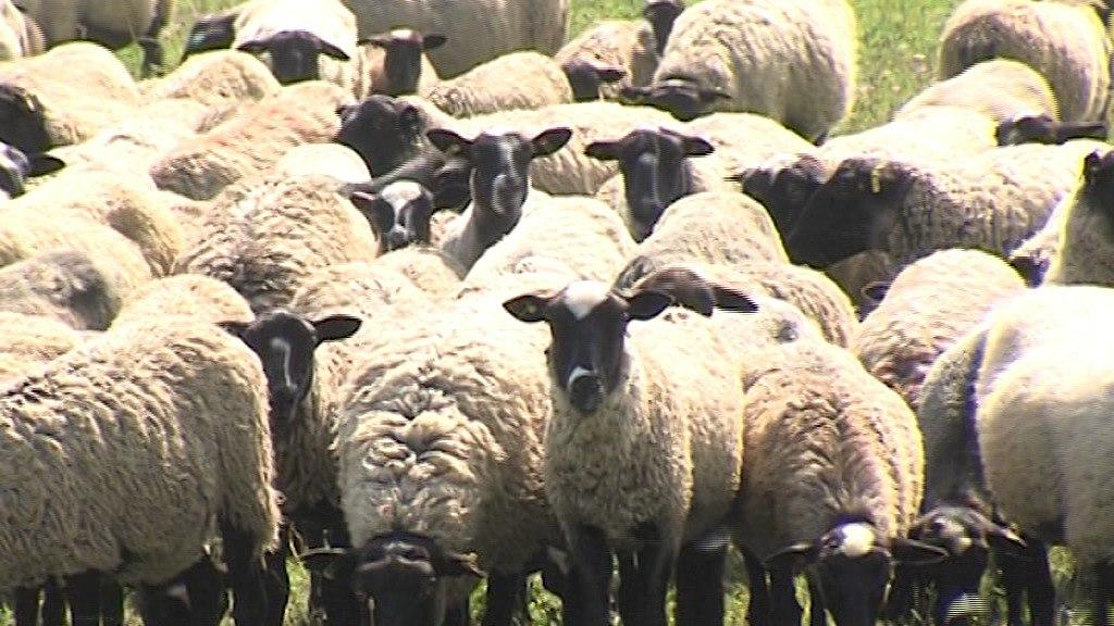 Генофонд романовской овцы в Ярославской области сохранят