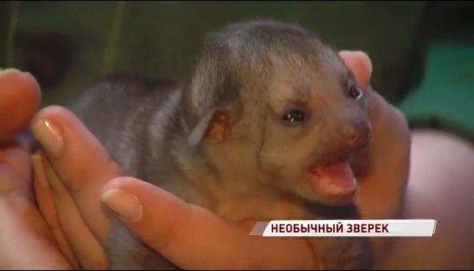 В Ярославском зоопарке родился «медовый медвежонок»: видео