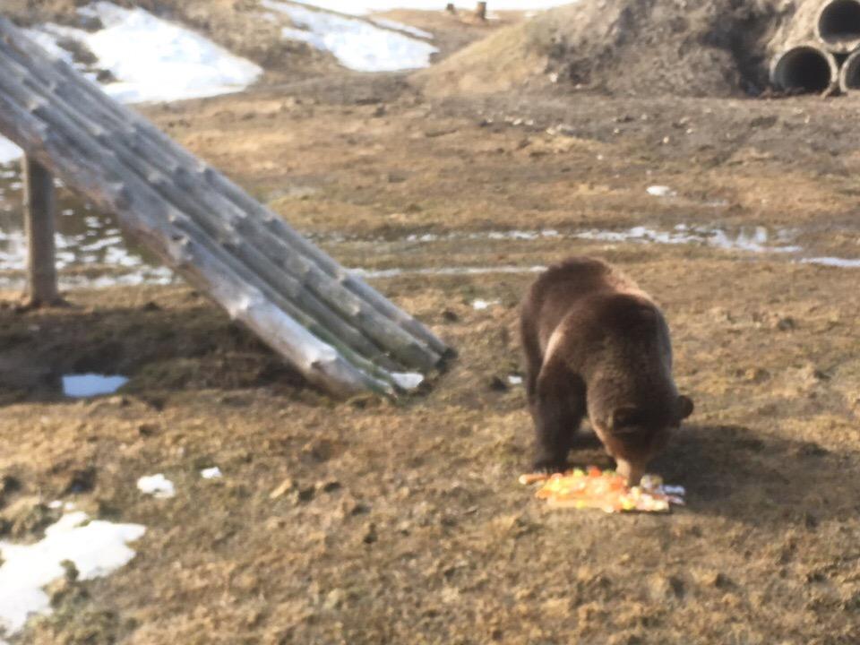 В Ярославском зоопарке братьев-медведей после спячки накормили тортами