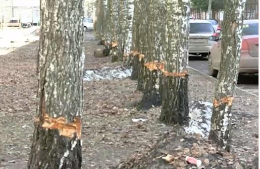 На Ленинградском проспекте в Ярославле некто испортил 25 берез