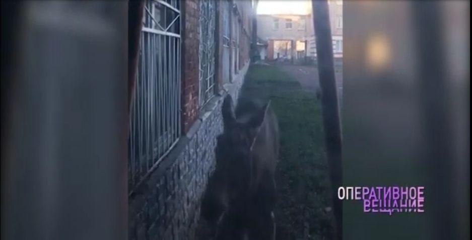 В Ярославле по Пятерке разгуливал лось: видео