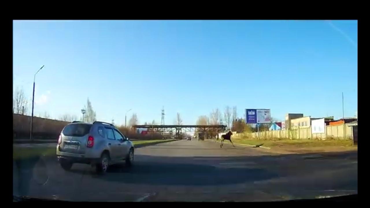 В Ярославле лось забрел в промзону и нарушил правила дорожного движения: видео