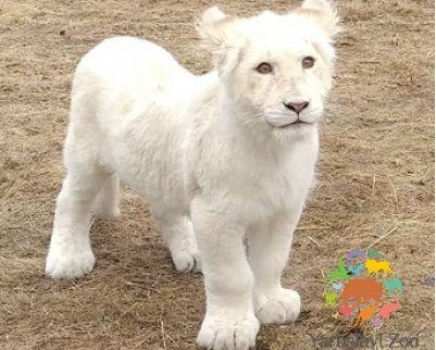 Из вольера Ярославского зоопарка пропал белый львенок Лавина: в чем причина
