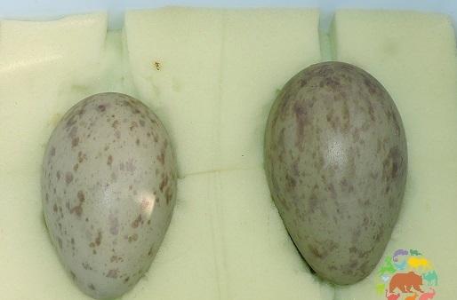 Ярославский зоопарк передал яйца стерхов в Окский заповедник