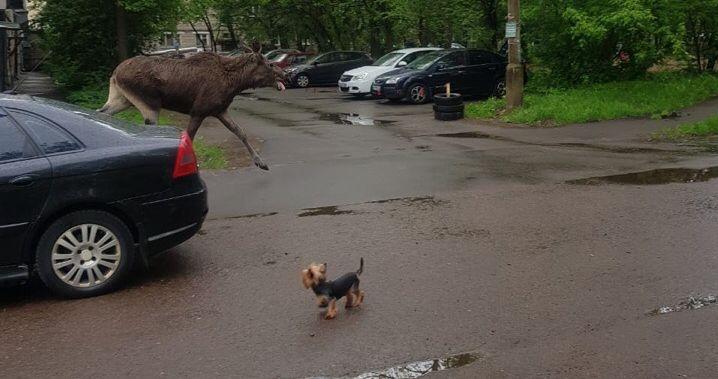 В Ярославле по улицам бегает лось: видео