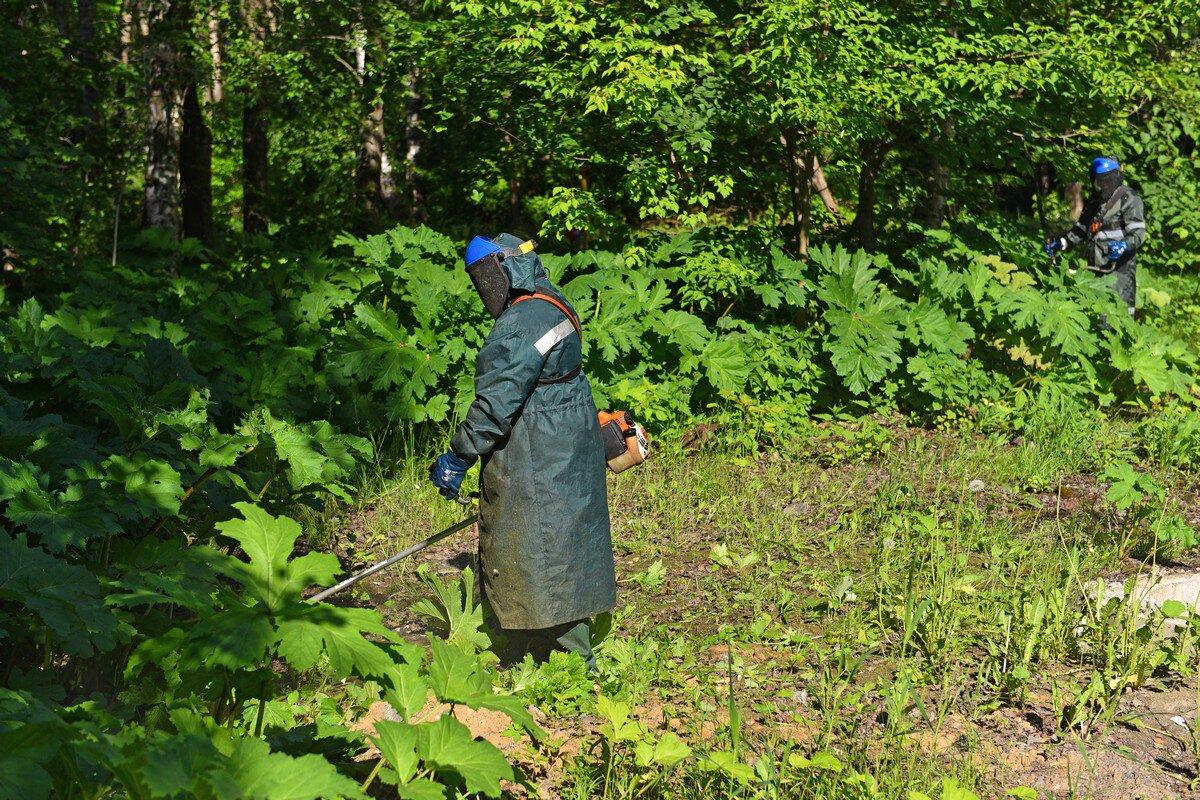 Власти призвали ярославцев «любыми способами» уничтожать борщевик
