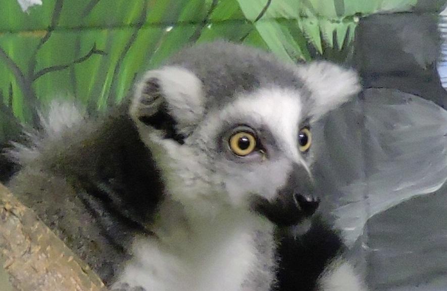 В Ярославском зоопарке выбрали имя для кошачьего лемура