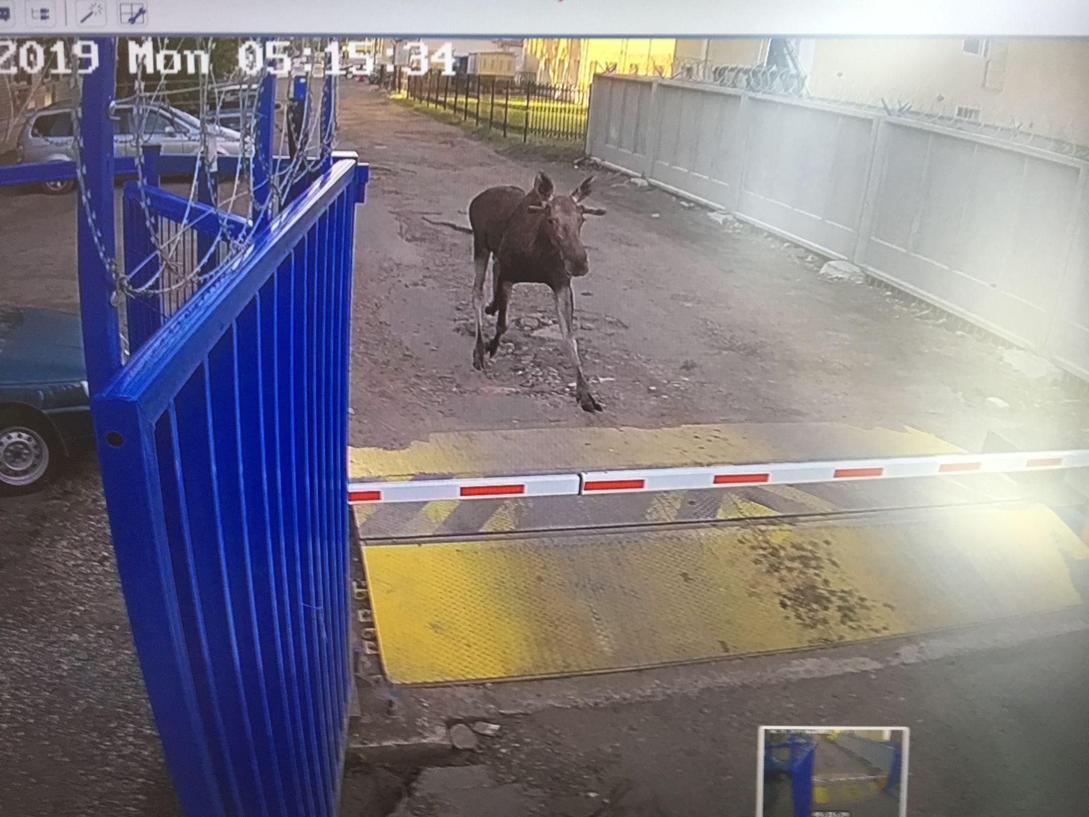 В Ярославле на территорию Почты России забежал лось: что стало с животным