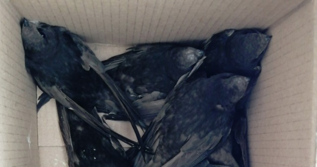Валятся на землю и залетают в квартиры: в Ярославской области наблюдают массовое падение стрижей