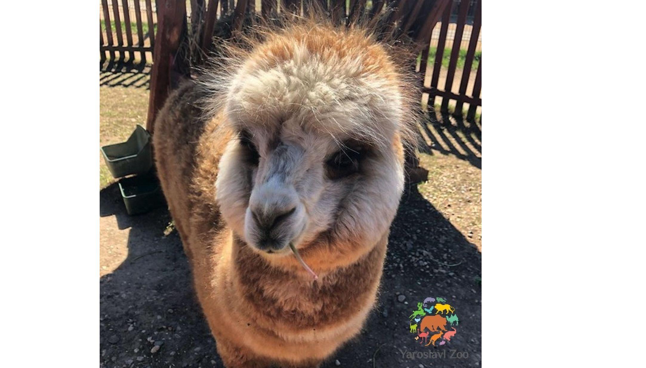 В ярославском контактном зоопарке поселился альпака