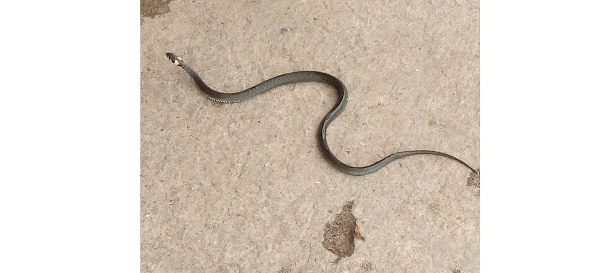 Жителей Рыбинска шокировала пытавшаяся заползти в жилой дом змея