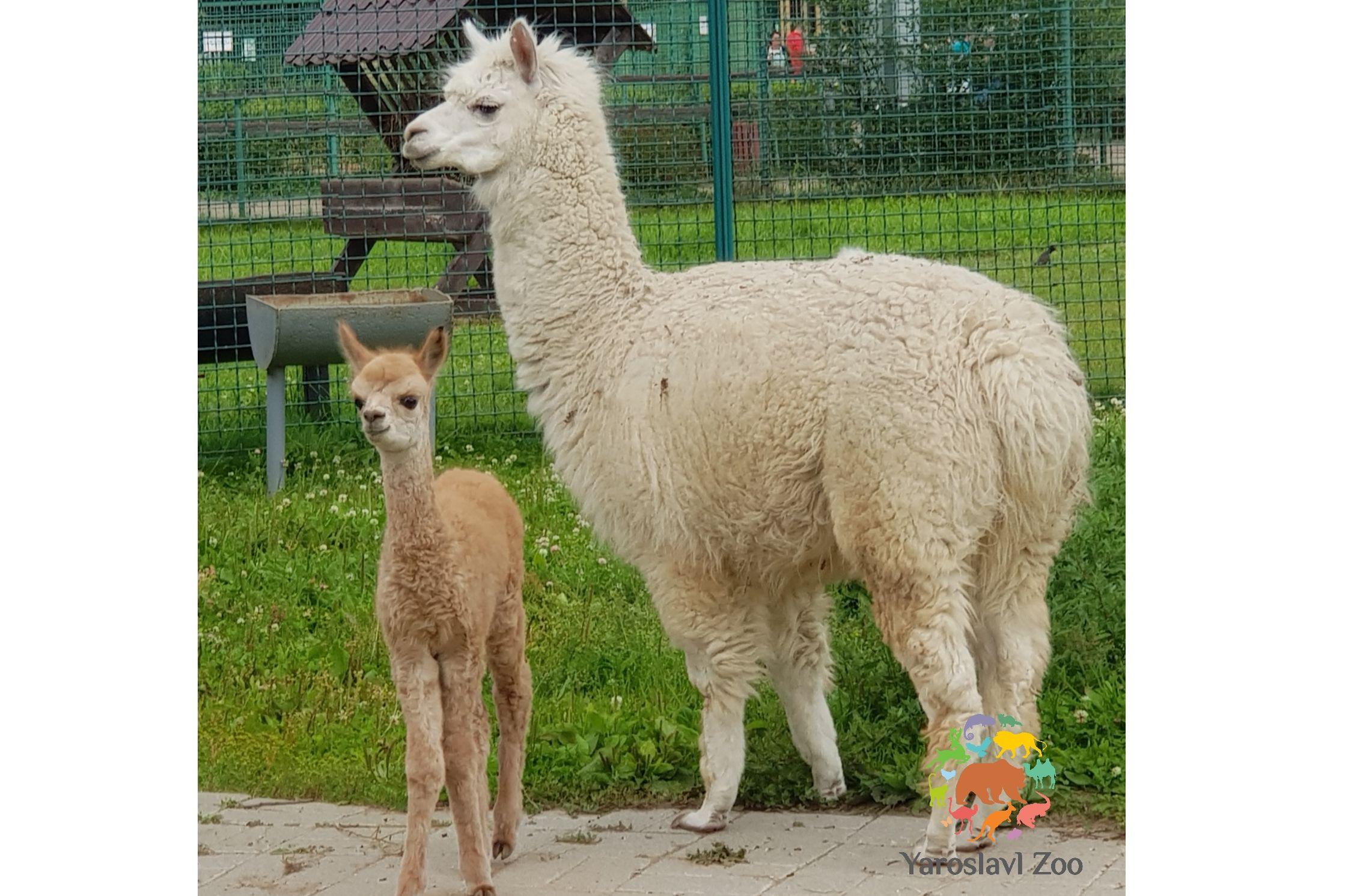 В Ярославском зоопарке пополнение: родился маленький альпака