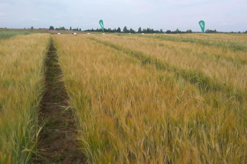 Полсотни предприятий в Ярославской области занимаются выращиванием ячменя
