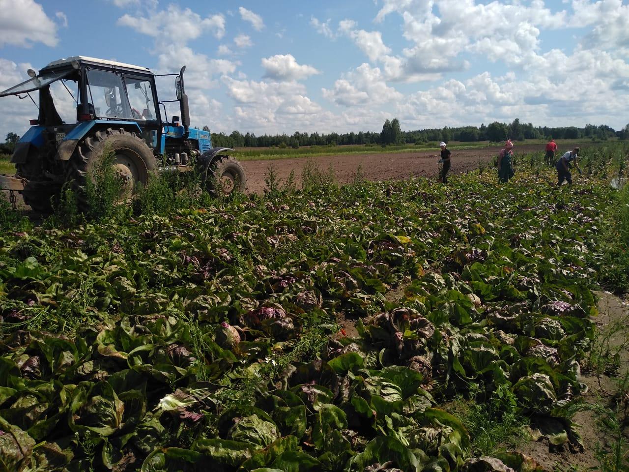 В Ярославской области началась уборка овощей: что собирают