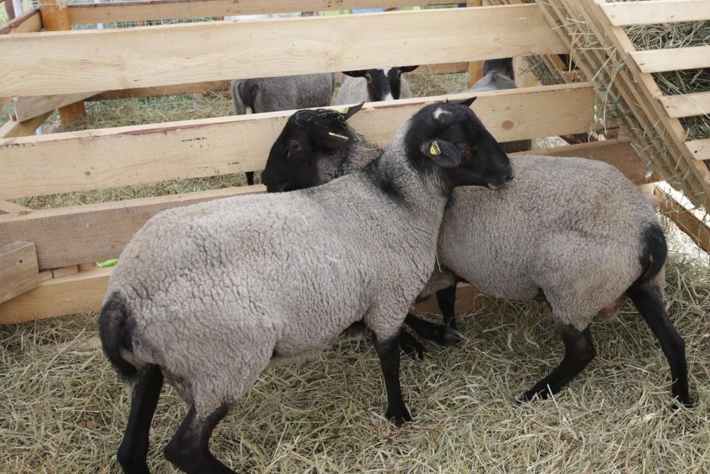 На поддержку племенного овцеводства в этом году направят более 9 миллионов рублей
