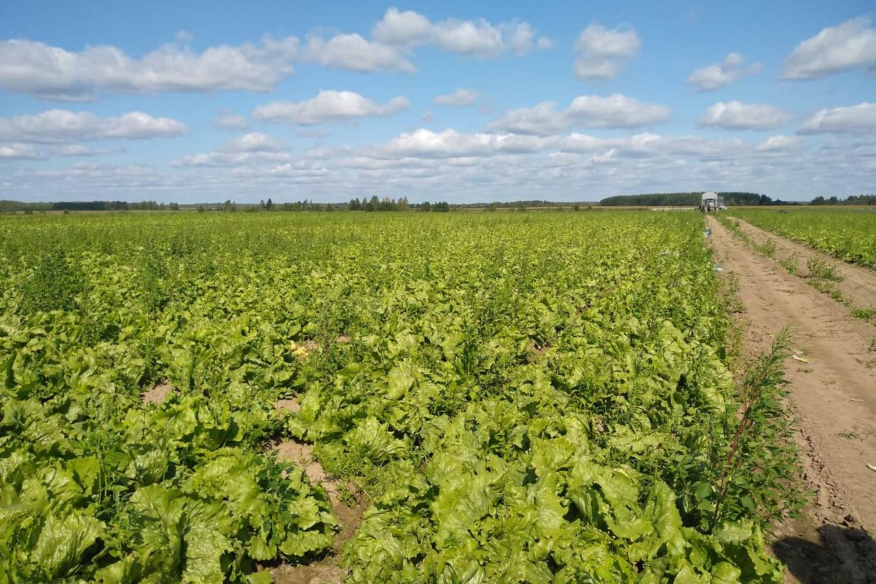 В регионе убрано около 20 процентов овощей открытого грунта