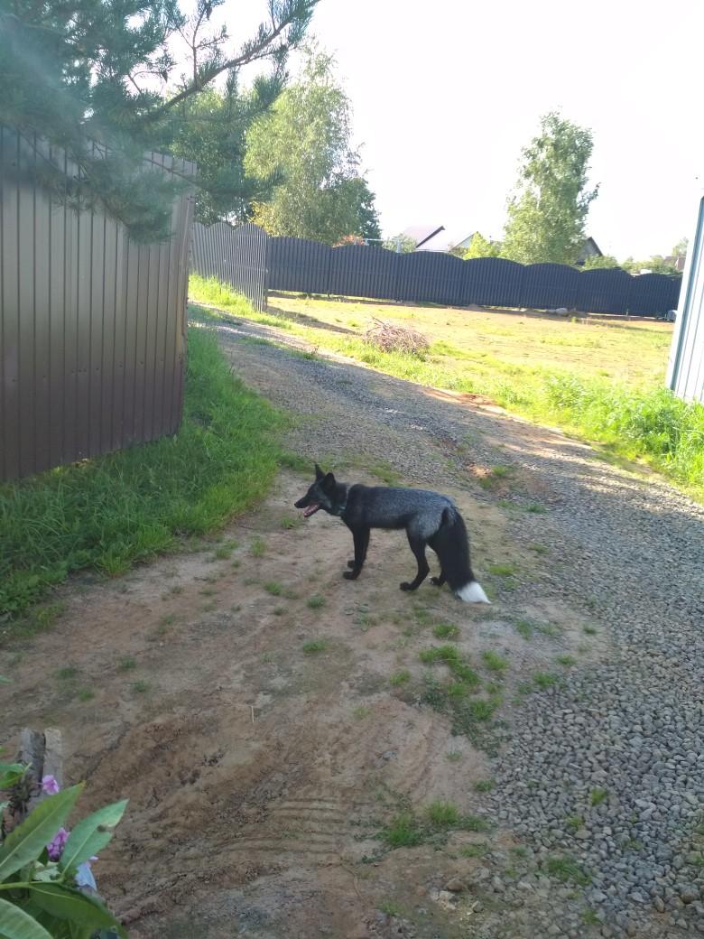 Ручная лиса-чернобурка потеряла хозяев и заплутала в коттеджном поселке в Ярославской области