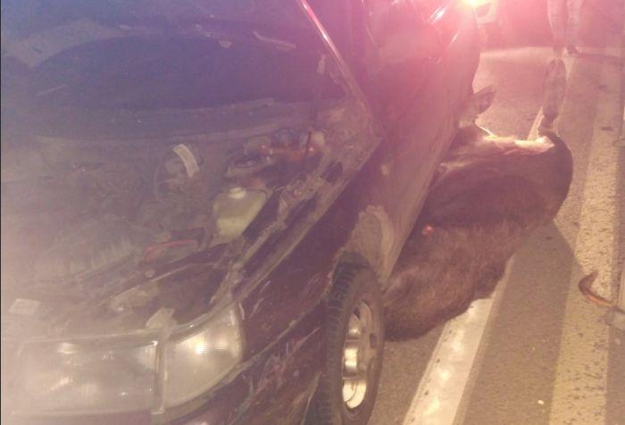 В Ярославской области лось попал под колеса двух автомобилей