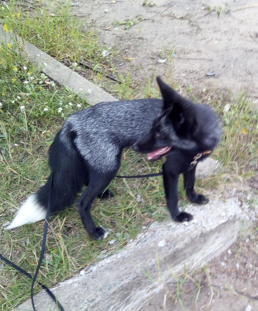 Платон потерялся: в Ярославле хозяева ищут своего черного лиса