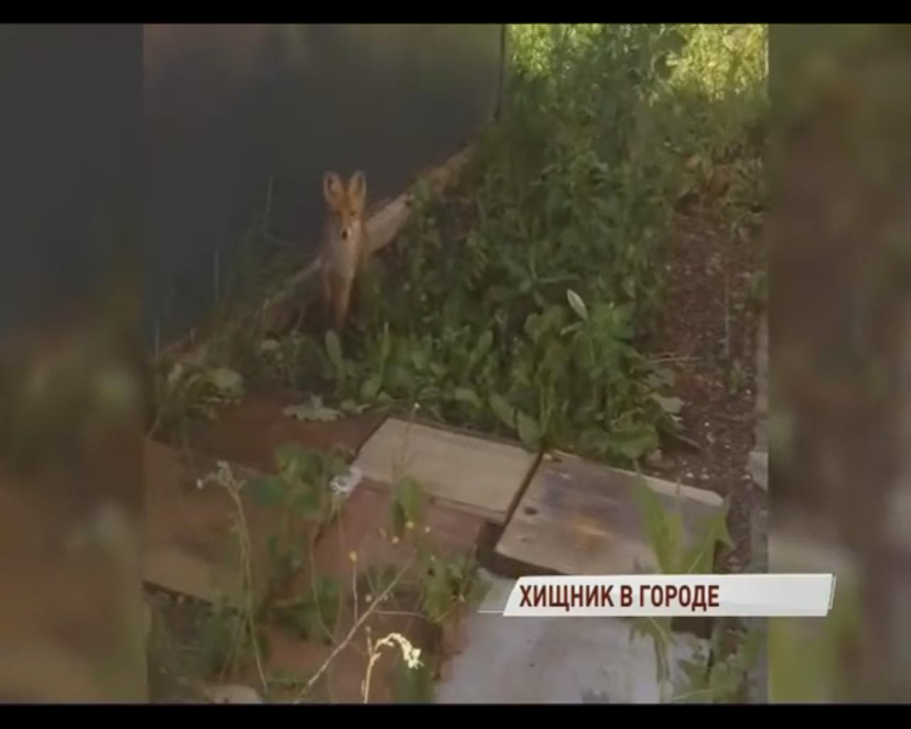 «Их было двое, но остался только один»: ярославцы сняли на видео лисенка