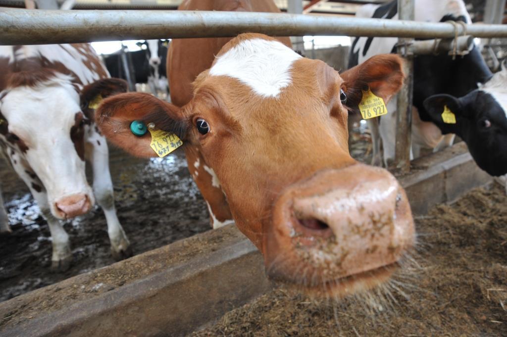 В Ярославле обсудили, как правильно кормить коров