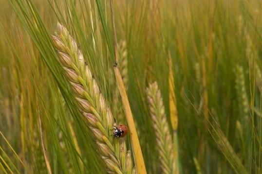 В Ярославской области собрали рекордный урожай зерновых и зернобобовых