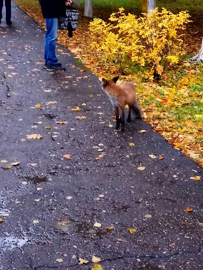 В Ярославле у распределительного центра бегает лиса: видео