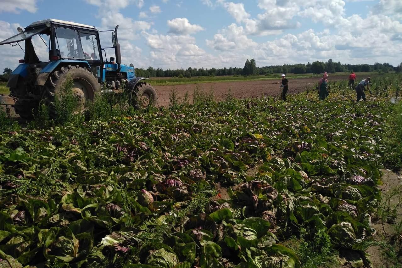 Урожай овощей в этом году в Ярославской области вырос на 14%