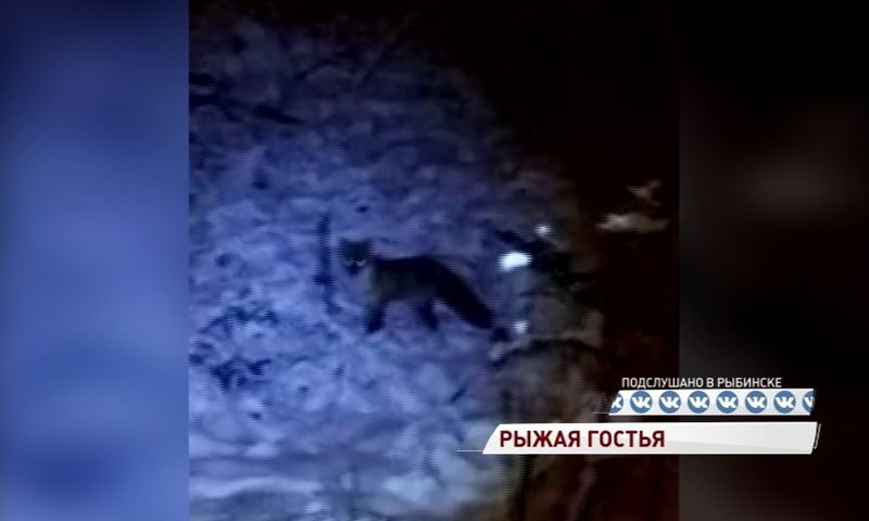 На стадионе в Рыбинске заметили лису