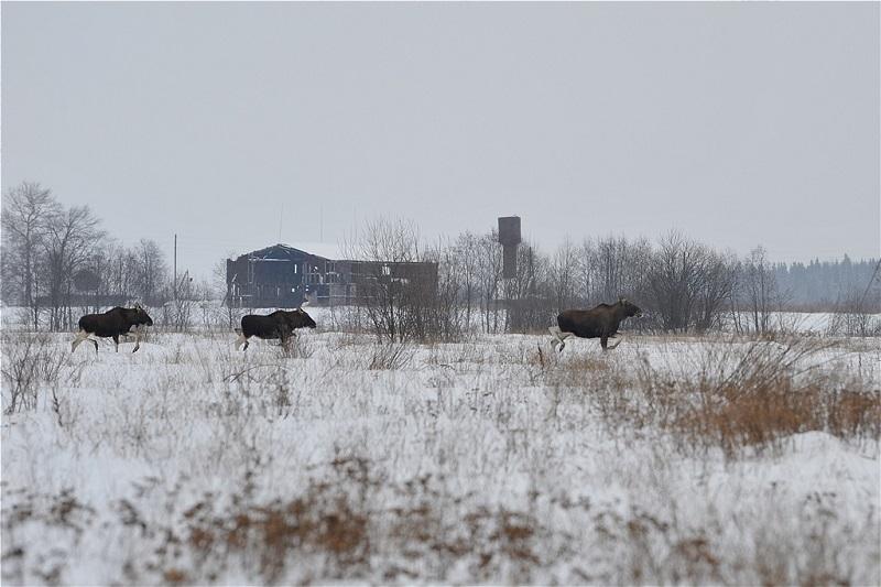 В лесах Ярославской области в сезон охоты застрелили более 2 тысяч лосей