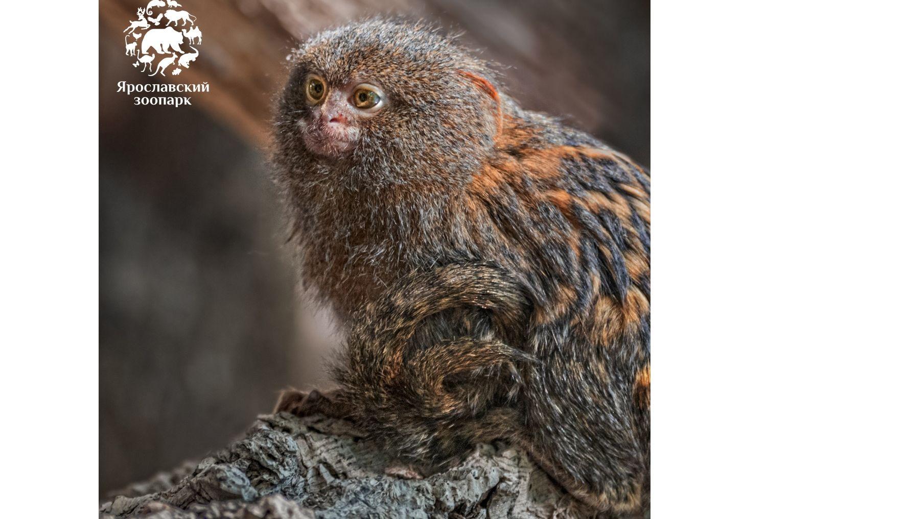 В Ярославский зоопарк привезли маленьких обезьянок