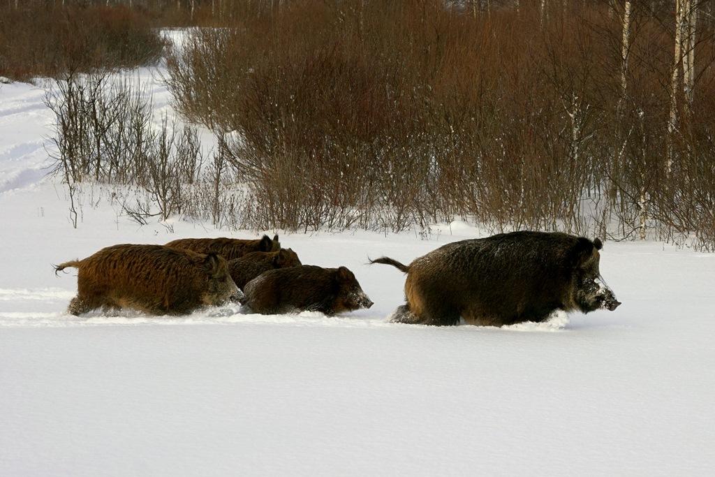 В Ярославском регионе пересчитают диких животных по их следам