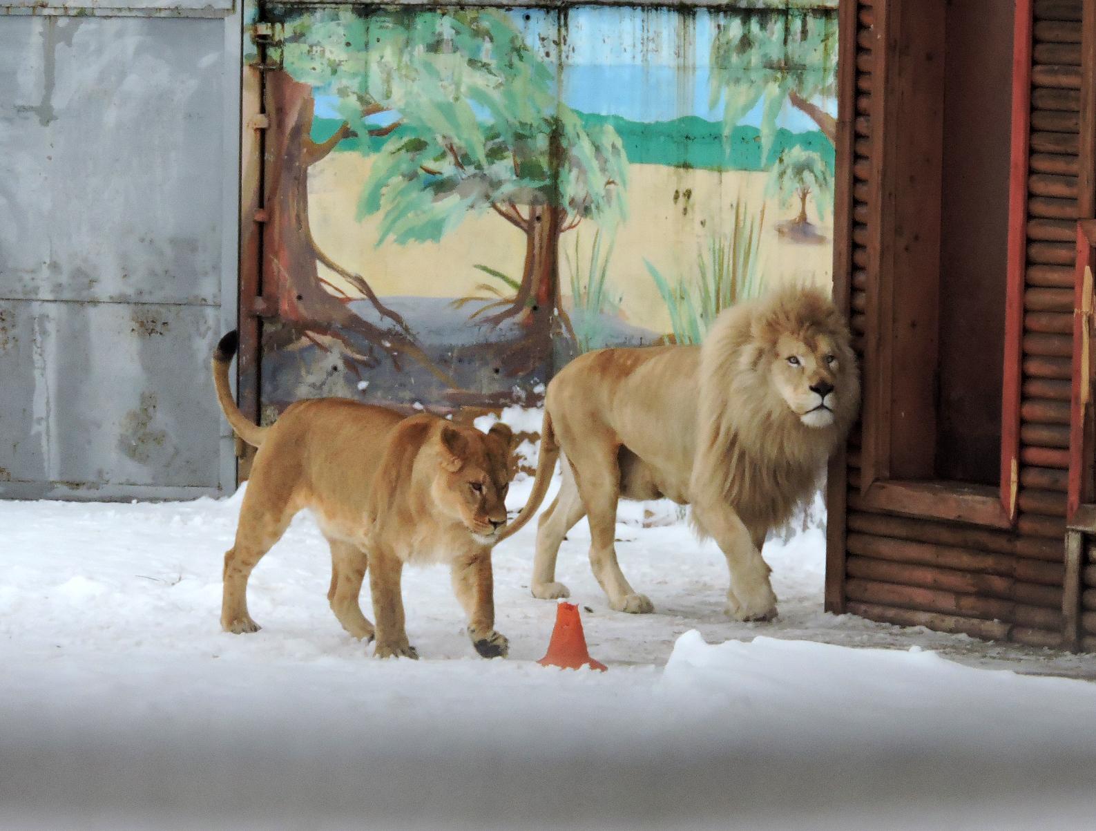 Новую невесту встретил агрессивно: в Ярославском зоопарке белому льву привезли подругу