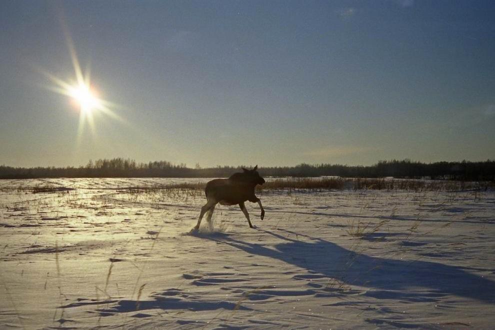 В Ярославской области браконьеры застрелили трех лосей: ущерб составил 720 тысяч