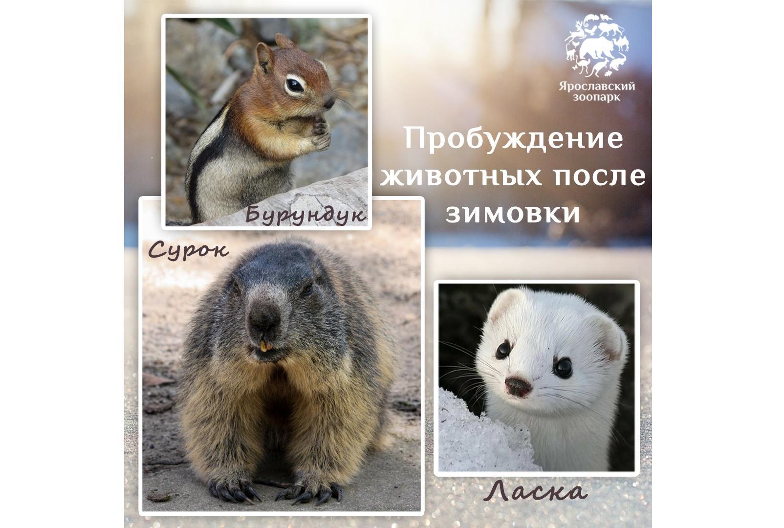 Сурок, бурундук и ласка стали предвестниками весны в Ярославском зоопарке