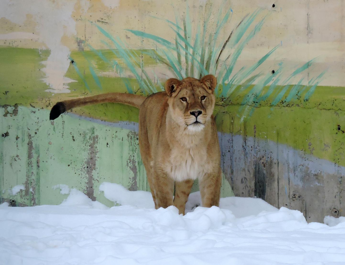 Король лев и его королева. Обитатель ярославского зоопарка «женился» во второй раз