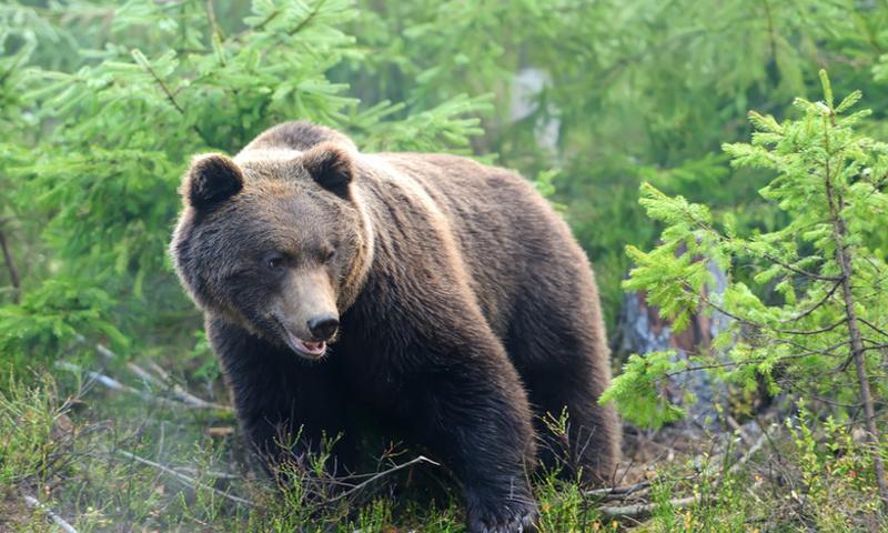 Проснувшийся медведь в Ростовском районе не представляет опасности для людей – эксперт