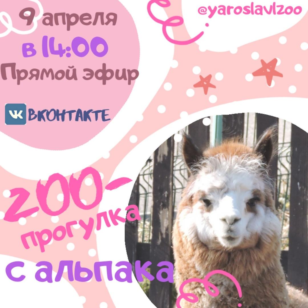 Ярославский зоопарк в период самоизоляции проводит онлайн-экскурсии