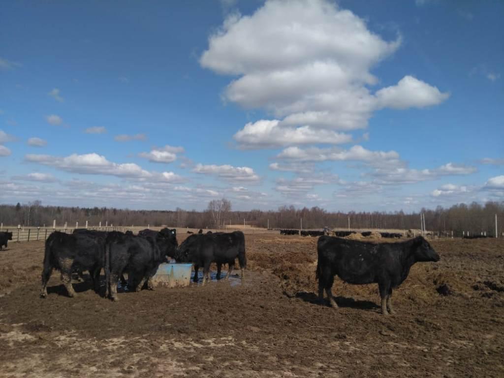 В Пошехонском районе разводят коров абердин-ангусской породы
