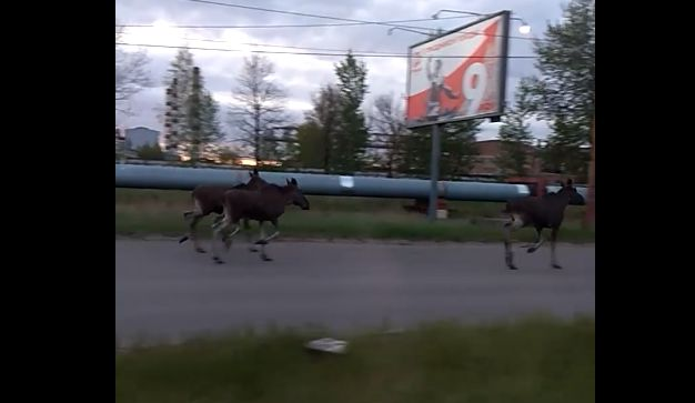 В черте Ярославля в выходные заметили нескольких лосей и медведя