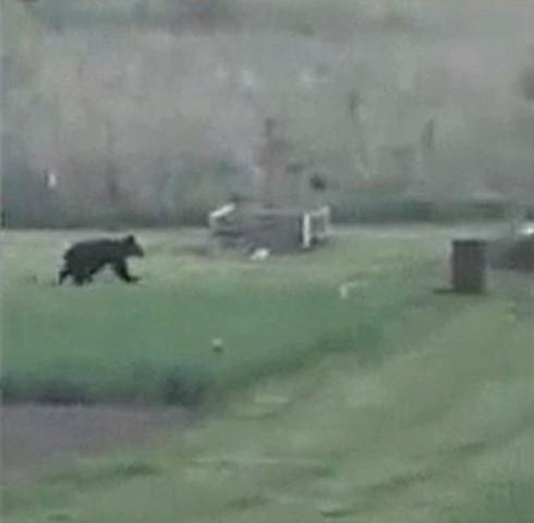 Вышедший к людям в Ярославской области медведь вернулся в лес