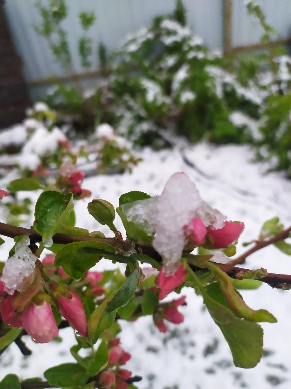 Цветы в снегу: в Ярославской области люди стали свидетелями майской зимы