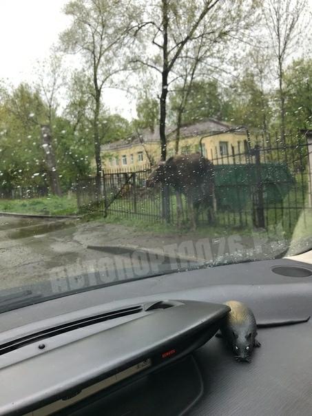 В Ярославле лось повис на заборе детского сада: на место выехали спасатели