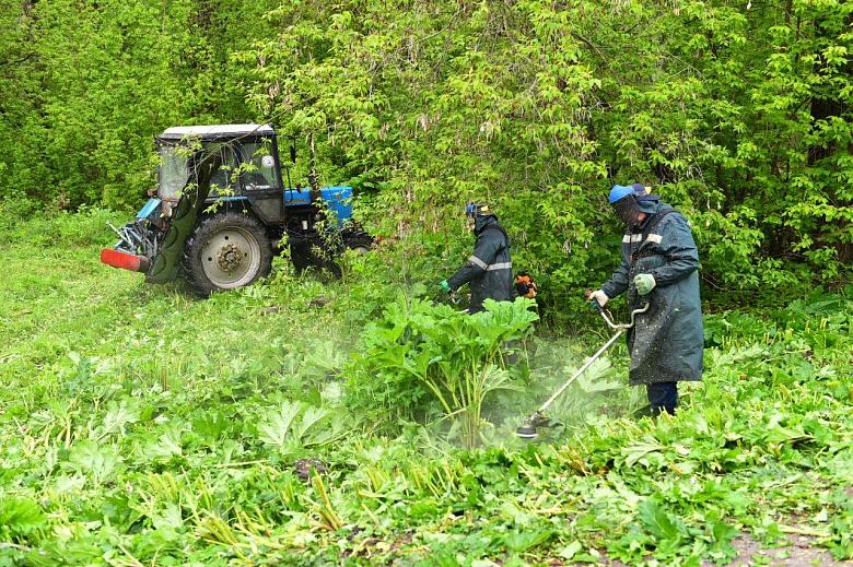 В Ярославле начали борьбу с борщевиком: в каких районах скосят опасное растение
