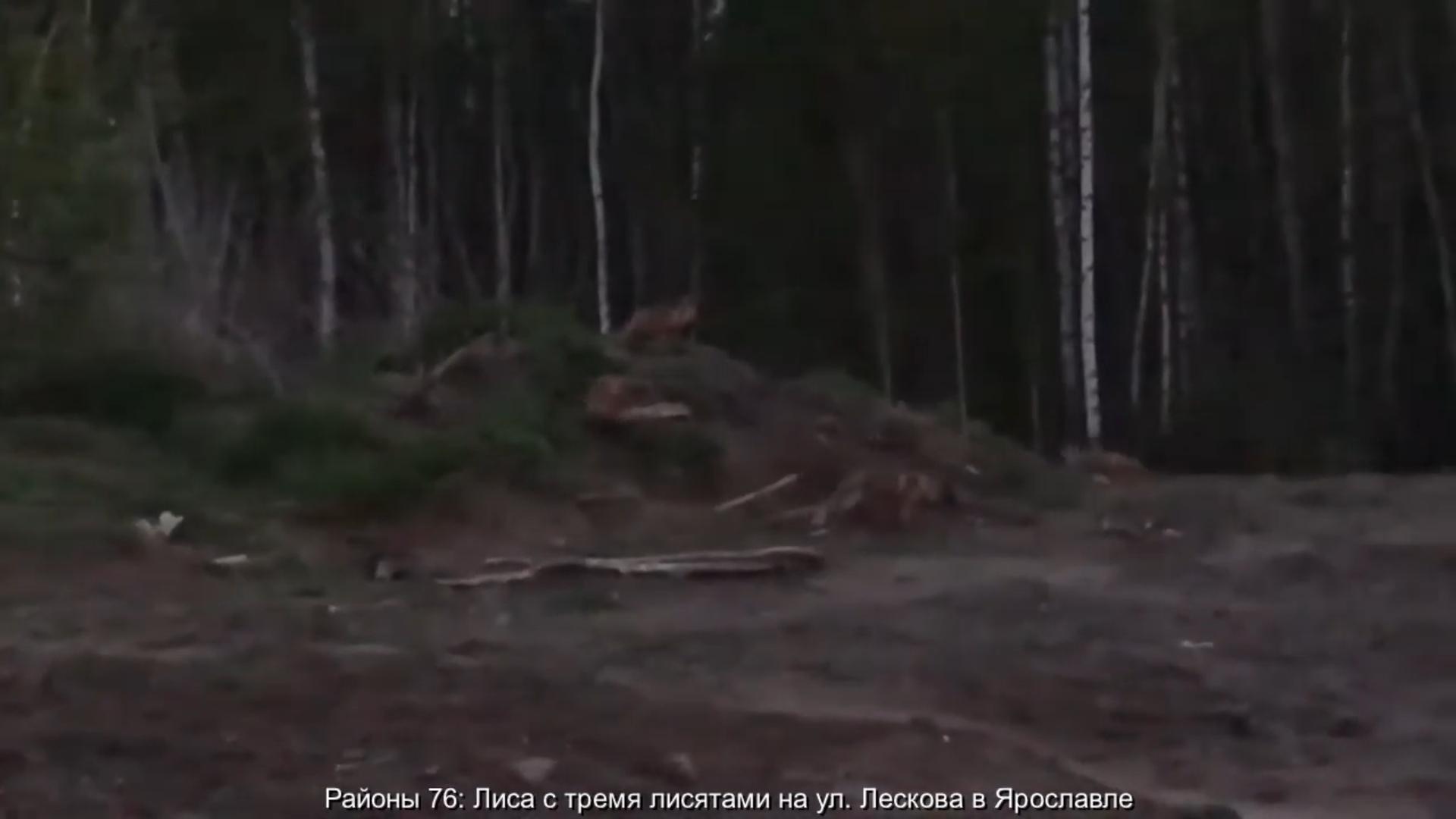 В Ярославле заметили лису с тремя лисятами: видео