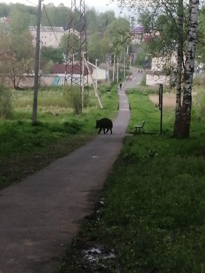 В Ярославской области в День пограничника кабан вышел на прогулку в парк