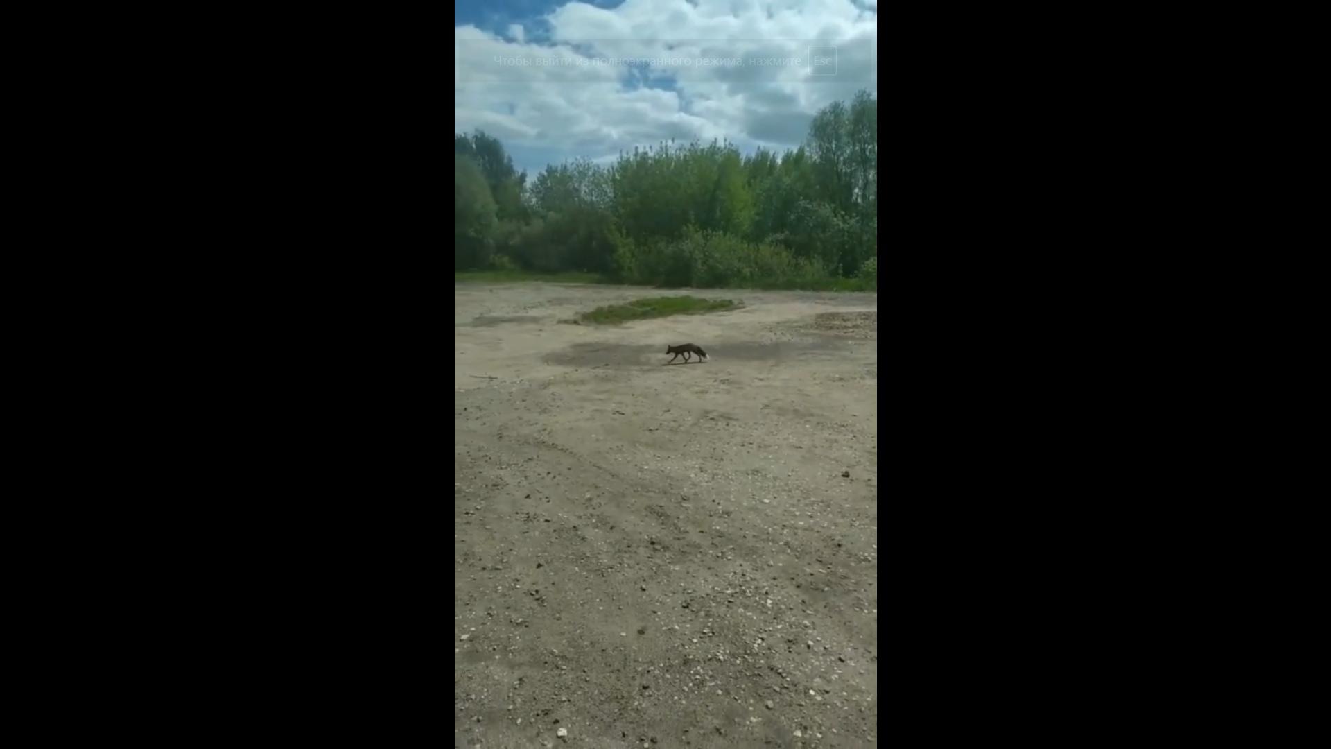 В Ярославле сняли на видео зашедшую в город лису-чернобурку