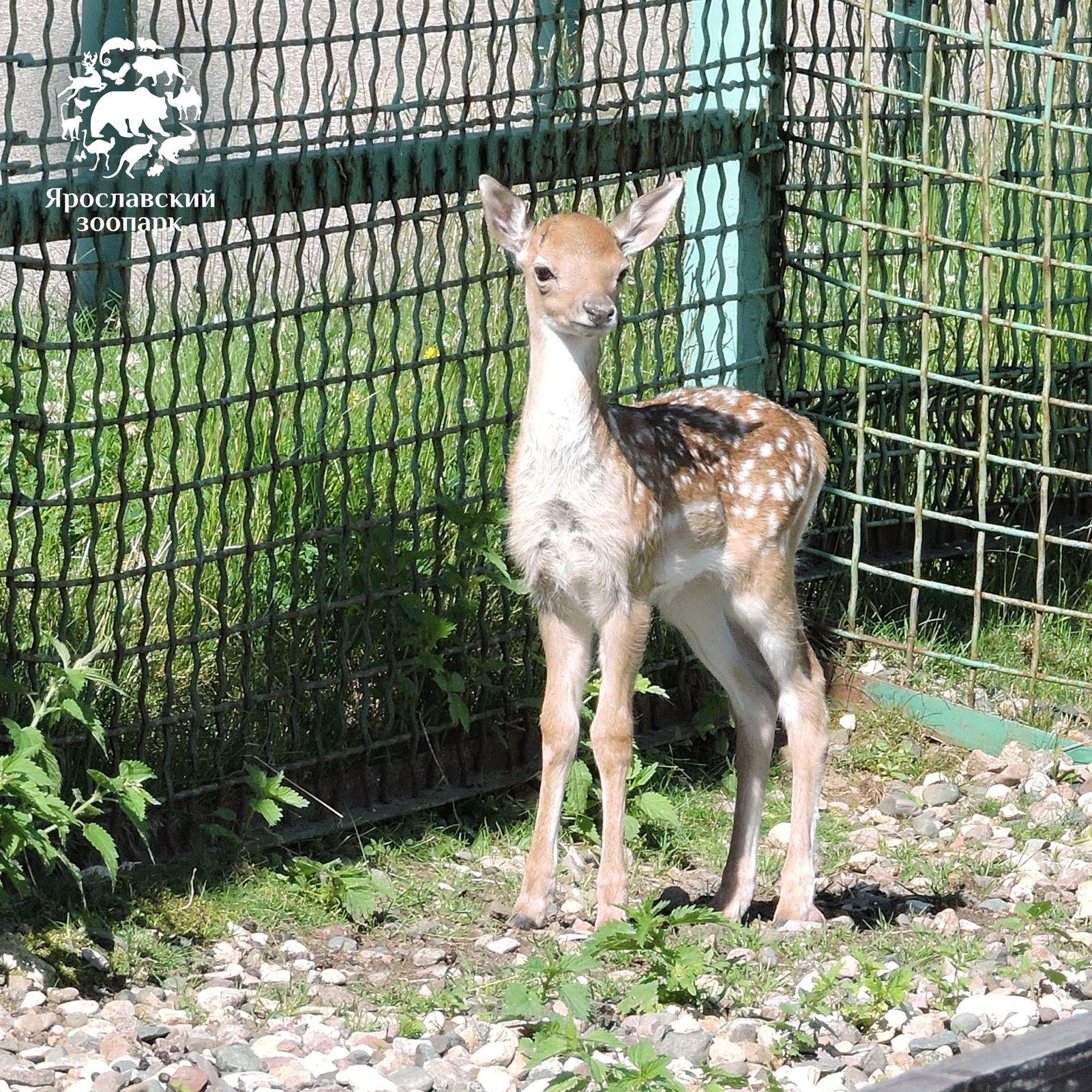 Бэби-бум в Ярославском зоопарке: на свет появились дагестанский тур, винторогие козлики, лань и ослик