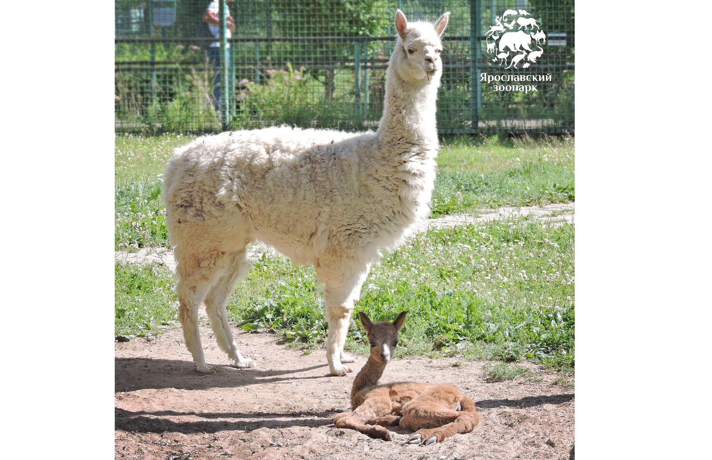 В Ярославском зоопарке родилась малышка-альпака